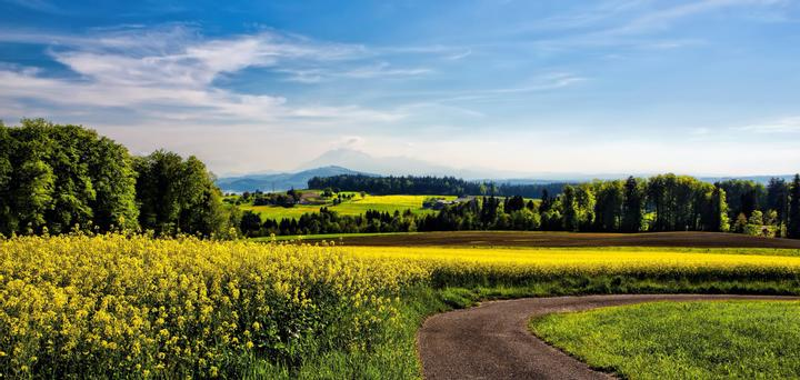 A rapeseed field with trees and mountains in the background